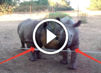 какие звуки издает детеныш носорога