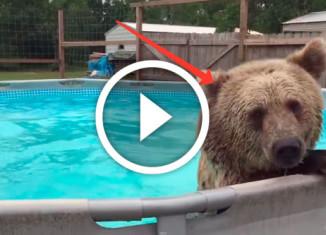медведь купается в бассейне