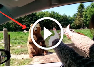 медведь помахал женщине лапой