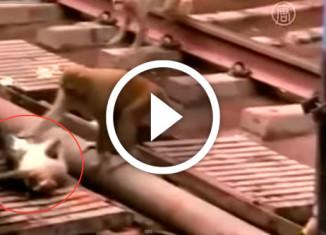 обезьяна спасает собрата
