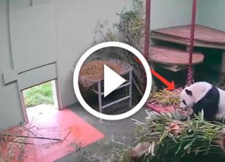 панда упала с кровати