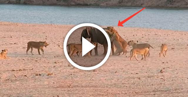 слоненок отбивается от стаи львов