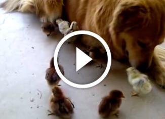 собака нянчит цыплят