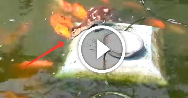 утенок кормит золотых рыбок