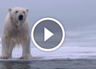 белый медведь охотится на тюленя