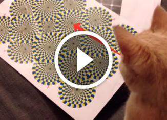 кот видит оптическую иллюзию