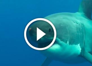лицом к лицу с большой белой акулой