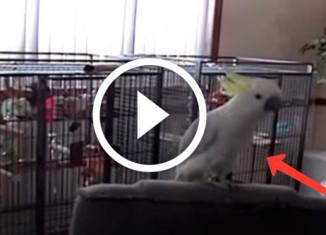Попугай танцует под Queen