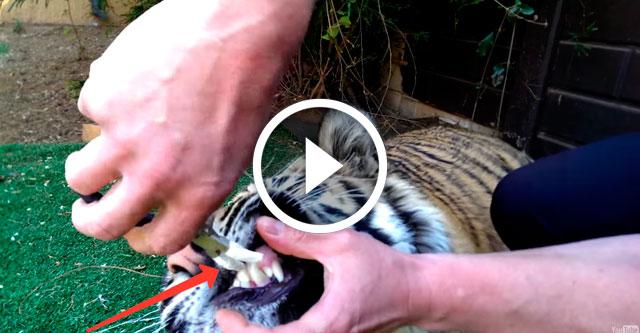 удаление молочного зуба у тигренка