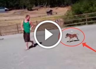 мини-конь бегает за парнем