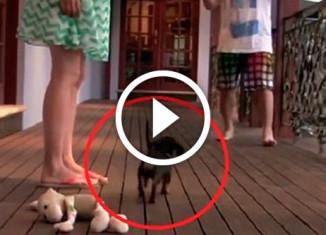 щенок защищает хозяйку