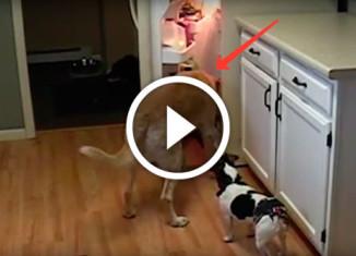собаки воруют еду