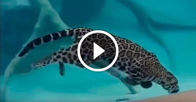 плавающий ягуар