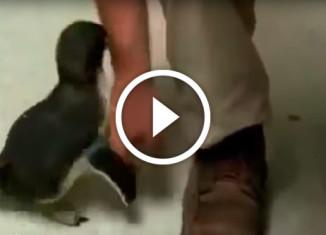 Пингвинчику чешут грудку