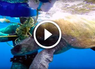 дайвер спас черепаху