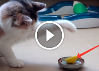 кот против лимона