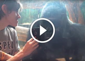 Парень показывает горилле телефон