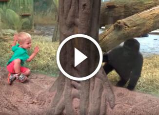 прятки с гориллой