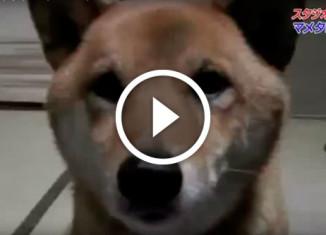 Собака гавкает с разной громкостью