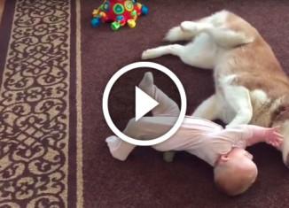 Хаски играет с малышом