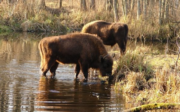 Animlas thriving around Chernobyl