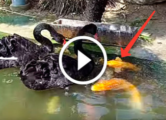 Лебеди кормят карпов