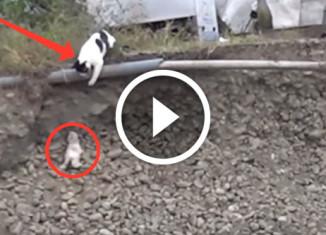 Кошка спасает котенка