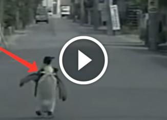 Самостоятельный пингвин