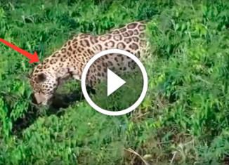Ягуар поймал крокодила