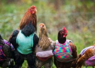 Свитера для куриц