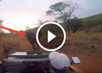 Нападение слонихи