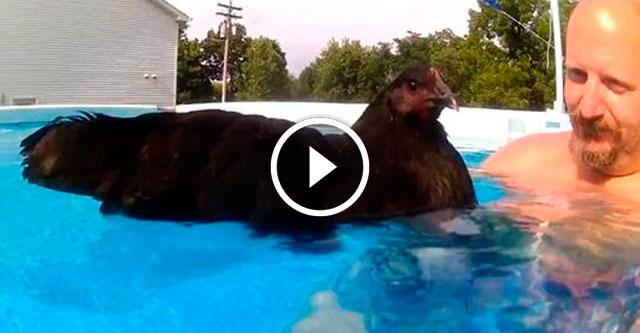 Как плавает курица
