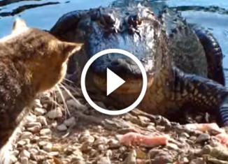 Кот против аллигатора