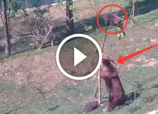 Медведица снимает медвежонка с дерева