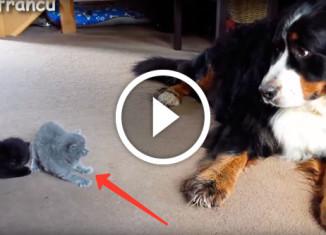 Знакомство котят с собаками