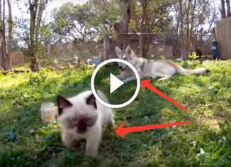 Хаски присматривает за котёнком