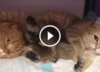 У кошек 8 котят на двоих