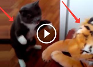 Кот бьет игрушечного тигра