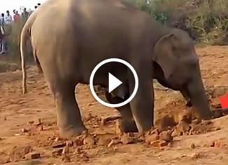 Слониха спасает слоненка