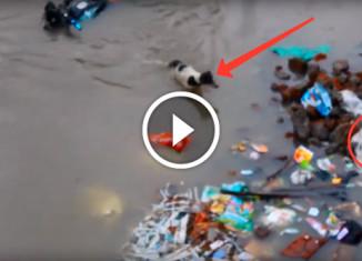 собака спасает своих щенков во время наводнения