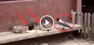 Ворона тягает котов за хвосты