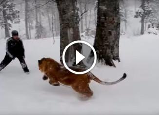 Парень играет со львом