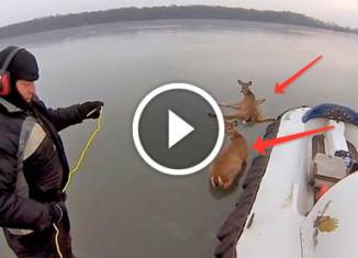 Мужики спасли оленей