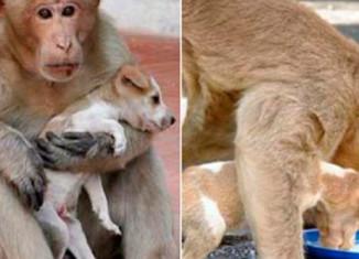 Обезьяна усыновила щенка