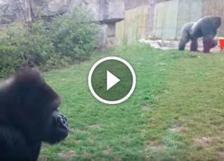 Почему не стоит бить себя в грудь возле гориллы