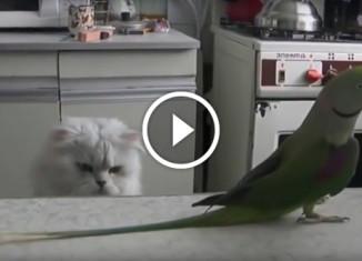Попугай дразнит кота своим хвостом