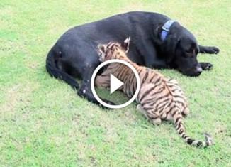 Собака усыновила тигренка