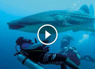 Аквалангист спас акулу