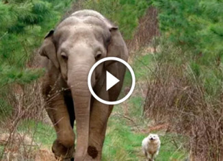 Дружба слонихи и собаки