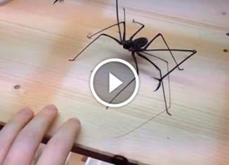 Хозяин играет с пауком